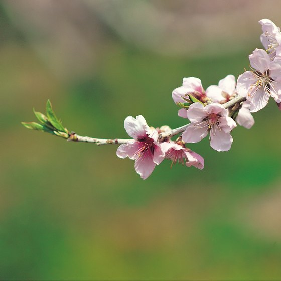 What To Pack For Japan In May In 2020 Japanese Cherry Tree Weeping Cherry Tree Cherry Tree