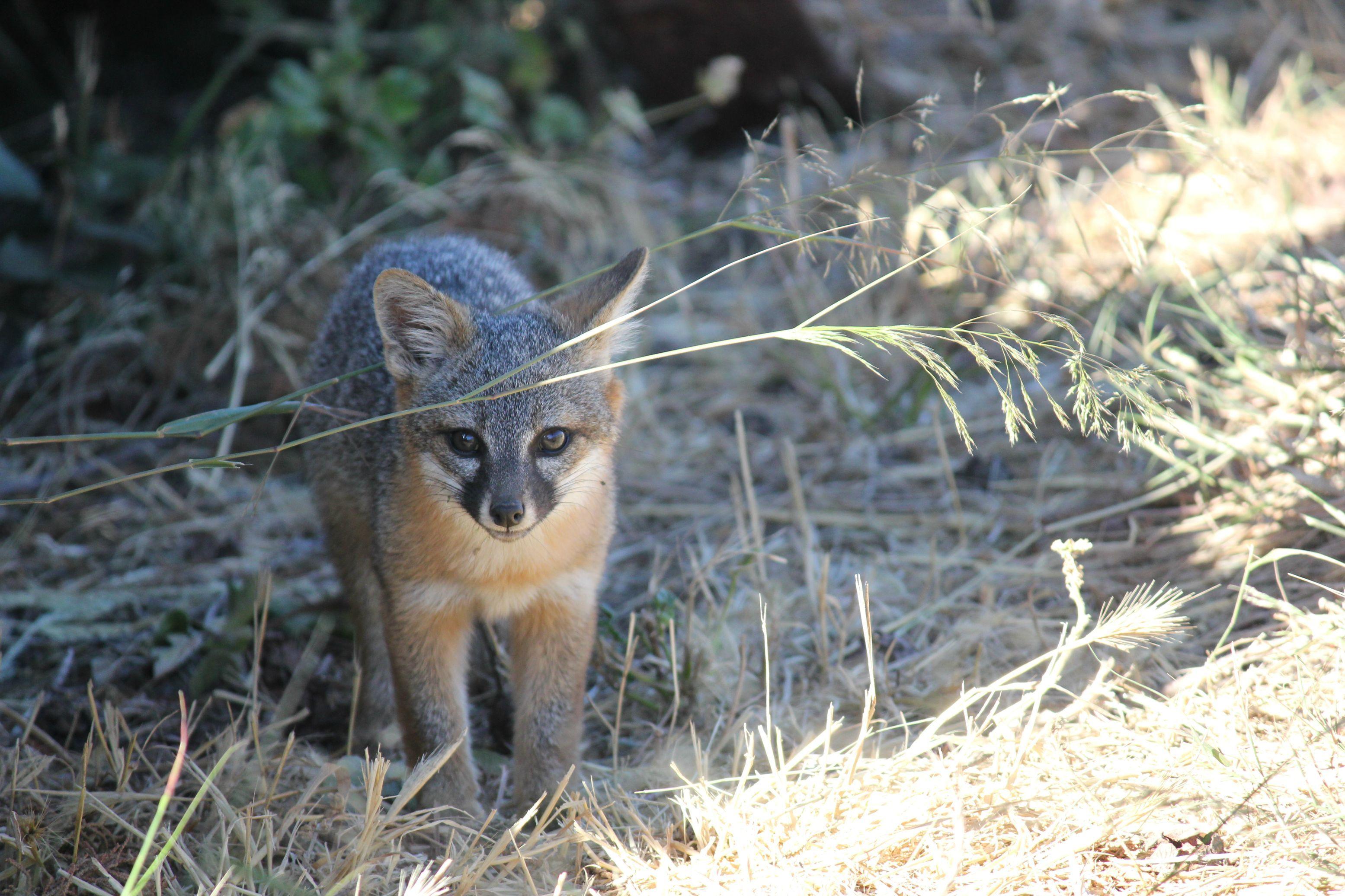 California Island Fox