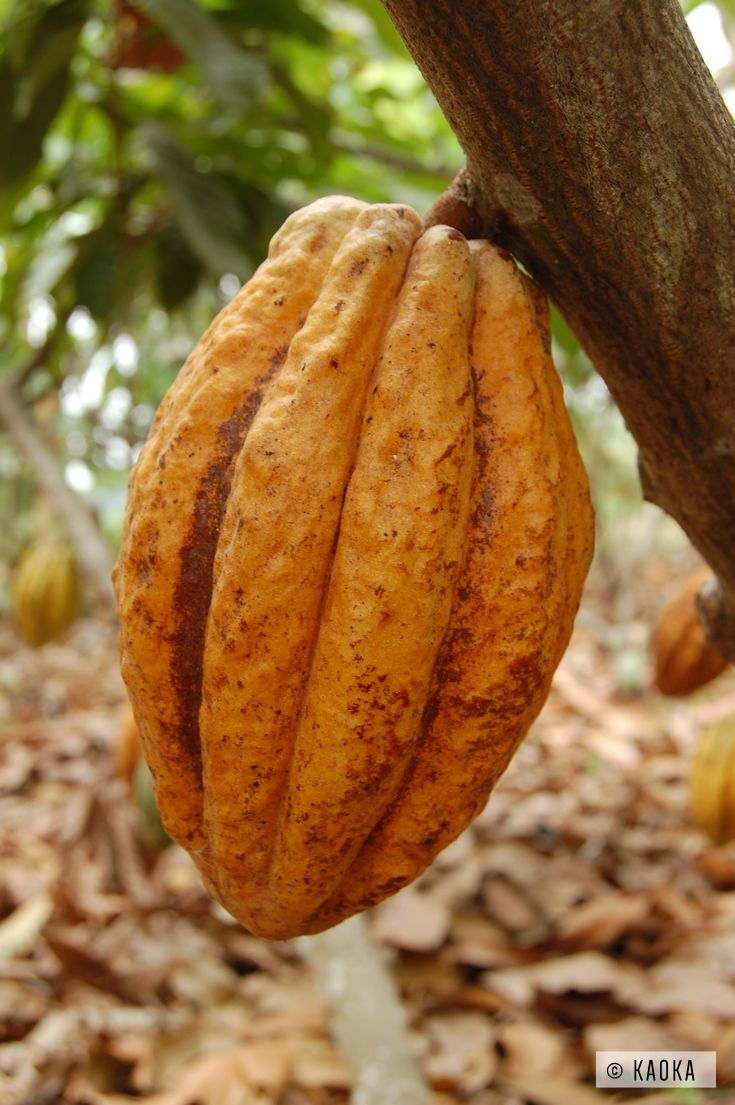 cabosse de cacao nacional nacional cocoa pod kaoka kaoka cacao d 39 quateur pinterest. Black Bedroom Furniture Sets. Home Design Ideas