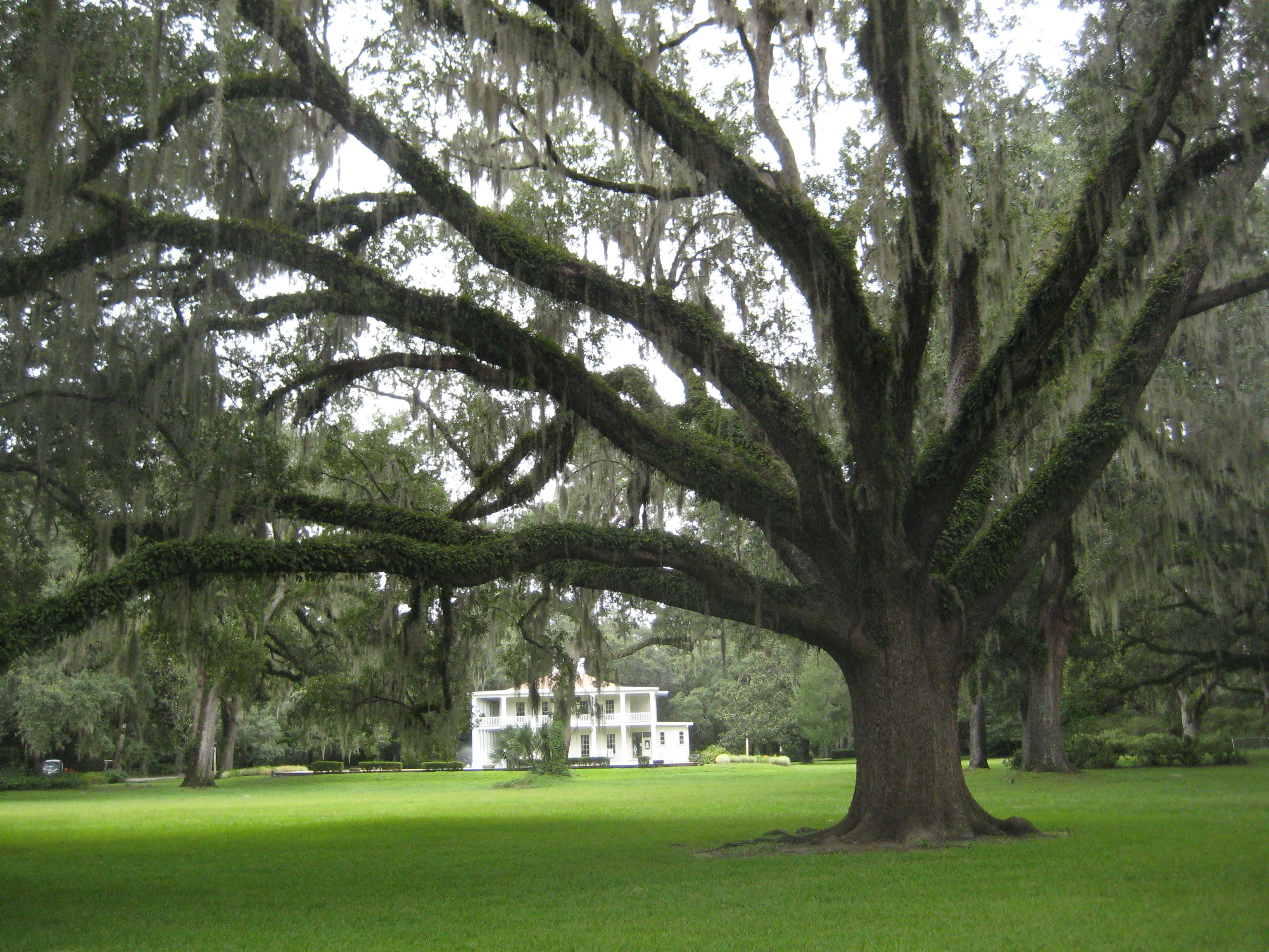 The Marriage Tree, Eden Gardens State Park Florida