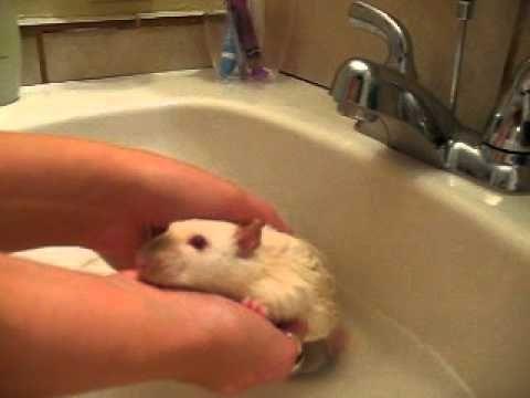 How To Bathe Pet Rats Pet Rats Rat Care Rats