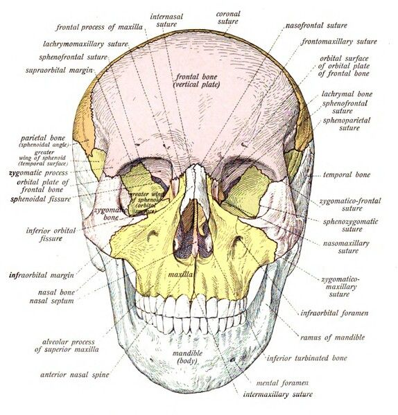 Diagram Of The Skull Anatomyforensic Pathology Anthropology