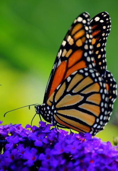 http://500px.com/photo/25407975 Monarch Butterfly on Butterfly Bush ...