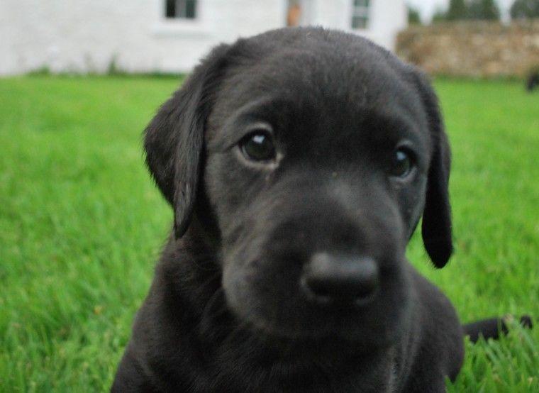 Black Labrador Puppies Bishop Auckland County Durham