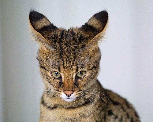11 Amazing Hybrid Animals African Wild Cat Wild Cats Cat Breeds