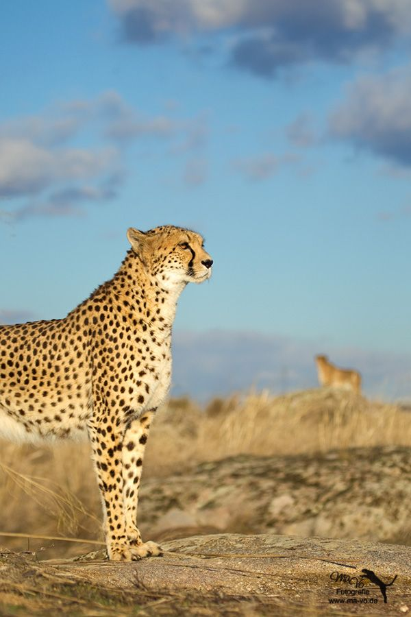 Cheetah in natural habitat - not much time left to save there habitat