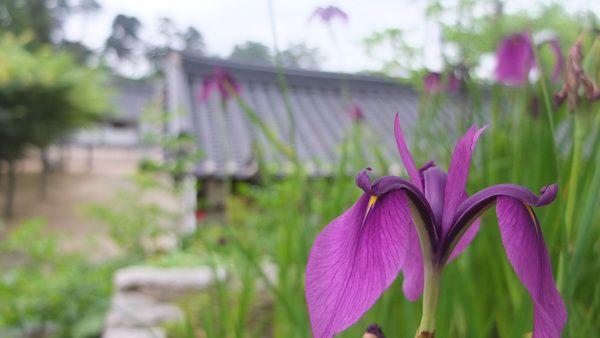 [Today's Photo] 보라색 꽃을 보라! X10  어느덧 한 주의 중반이 지나가네요^^ 좋은 수요일 아침 보내고 계신가요?  오늘의 사진은 아름다운 보라색 꽃을 담은 사진입니다.   보라색은 근심을 덜고 편안하게 휴식을 취할 수 있게 도와주는 색이라고 해요.  근심 걱정이 있으셨다면 오늘의 사진보시고 모두 날려버리세요^^    <사진정보>    조리개값: F/2  노출시간: 1/250초  ISO감도: ISO-200  초점거리: 7mm