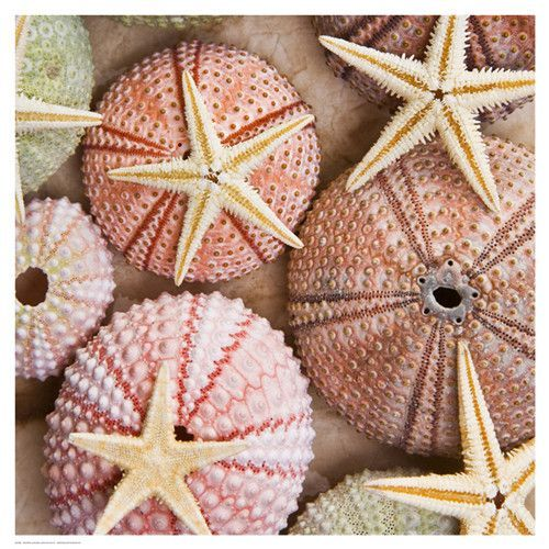 Paper: 18 1/2 x 18 1/2 Image: 18 x 18 Colorful still life art print poster of a collection of sea urchins and star fish. Bright cheerful image that lights up any room.