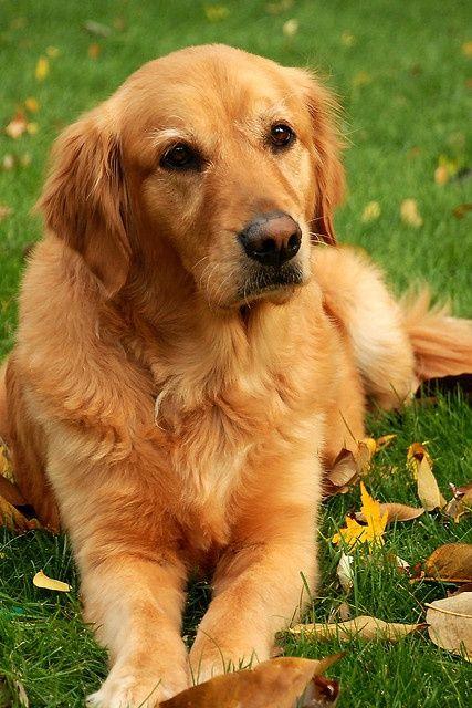Golden Retriever Dog Honey 4x6 Dogs Golden Retriever Dogs