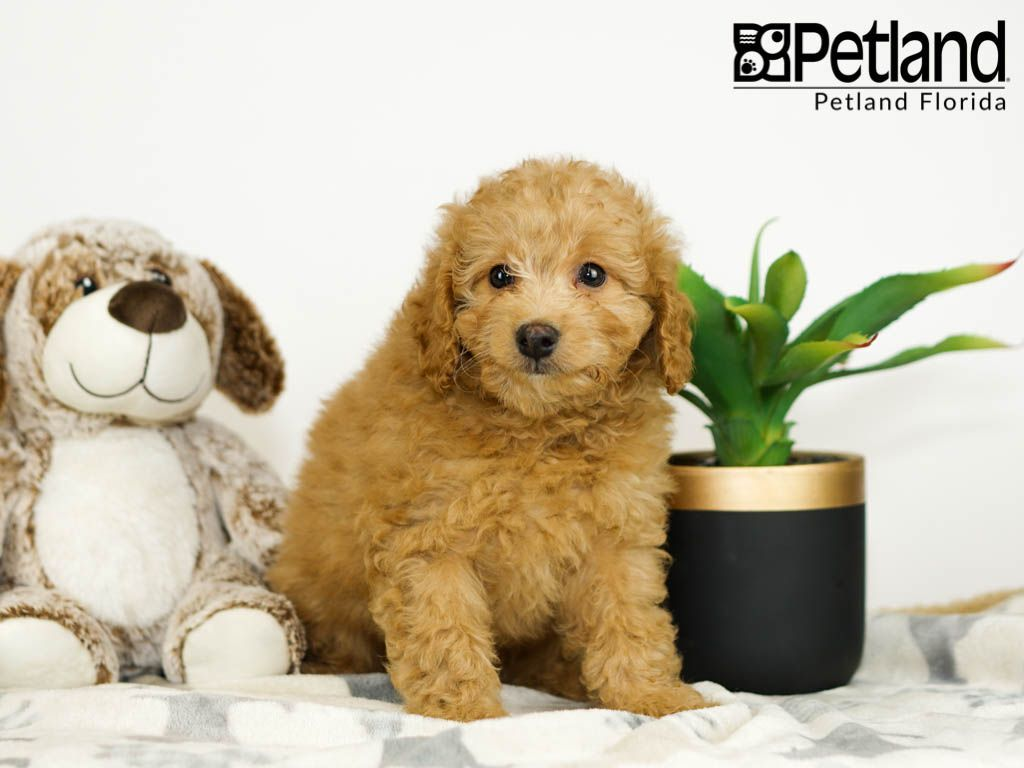 Petland Florida has Miniature Goldendoodle puppies for