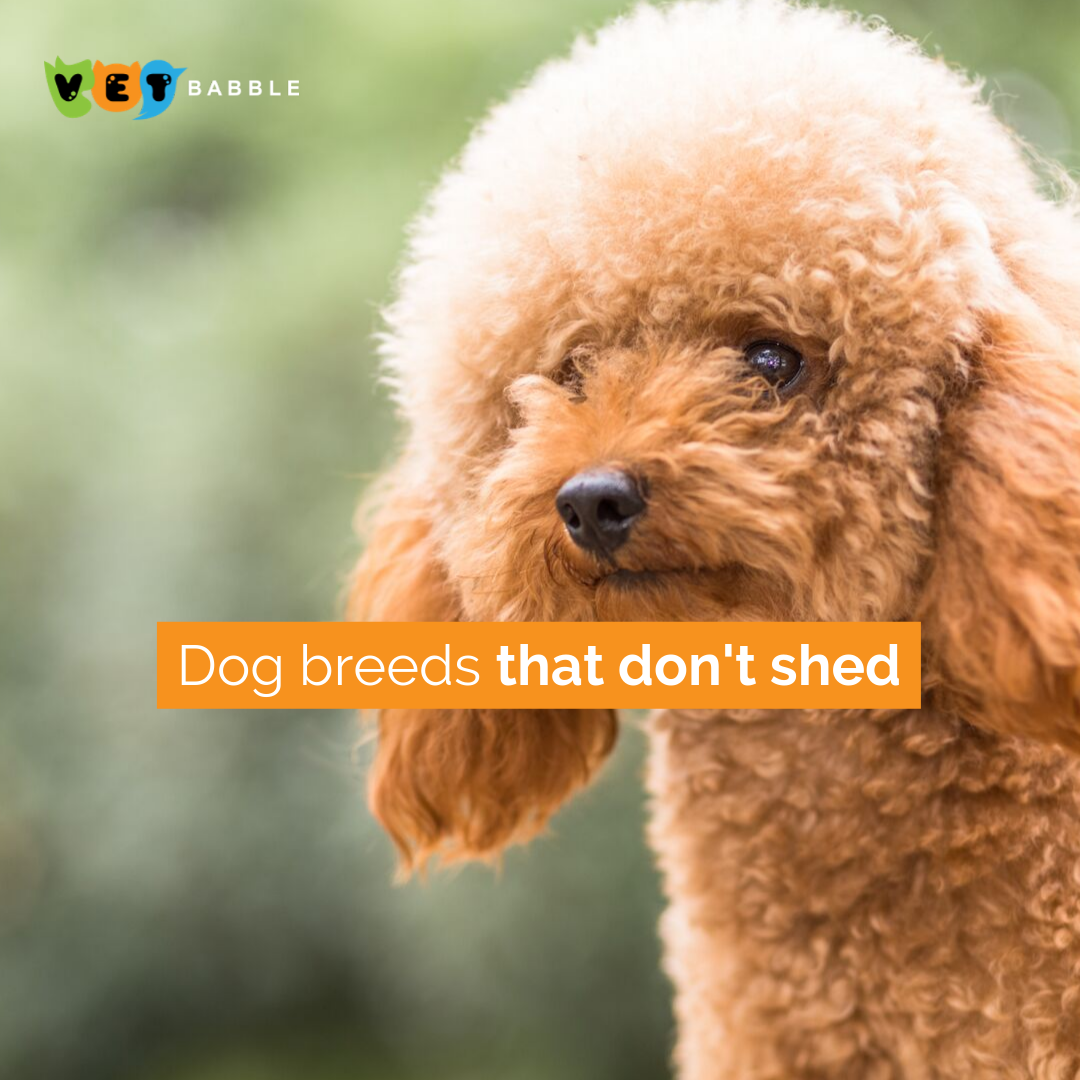 Dogs That Don T Shed Vetbabble In 2020 Dog Breeds That Dont