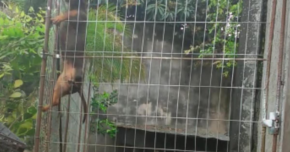 Em vídeo, 'cadela-aranha' escala grade de 1,50 m no Oeste catarinense