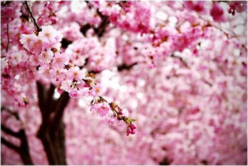 Ode To The Cherry Blossom Cherry Blossom Wallpaper Tree Wallpaper Pink Sakura Tree