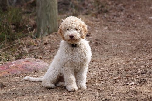 Luca The Lagotto Cute Dogs Cute Dogs And Puppies I Love Dogs