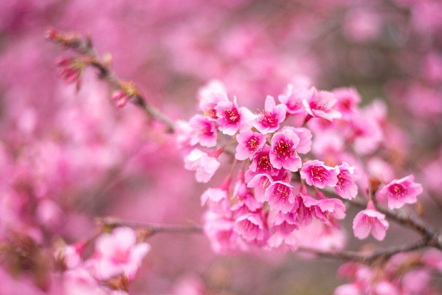 Himalaya Cherry Blossom Beautiful Flowers Photography Cherry Blossom Blossom