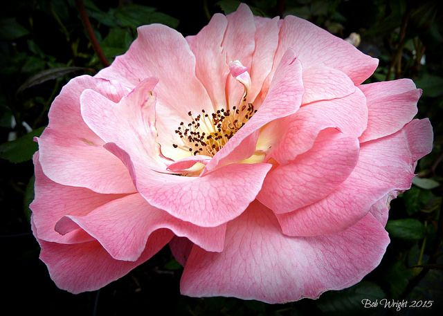Blushing Pink | A beautiful Pink Rose from a summer past. | By: Bob.W | Flickr - Photo Sharing!