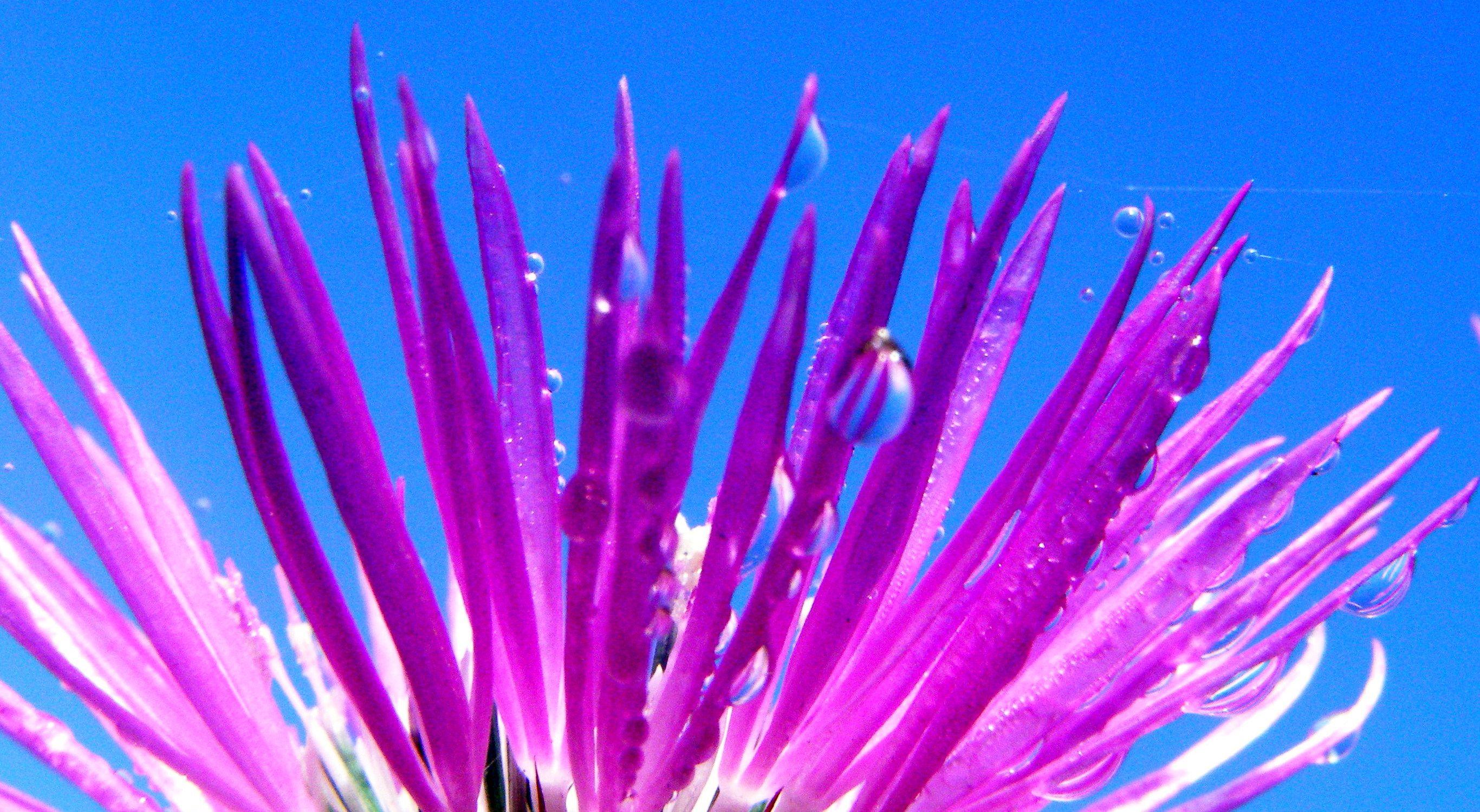 Gota en flor de cardo