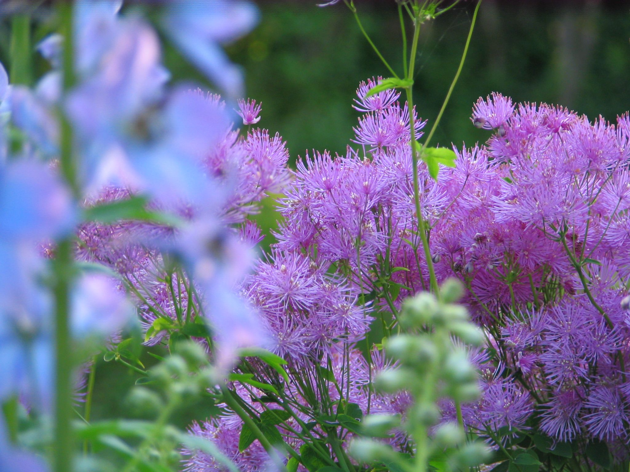 Thalictrum (Meadow Rue) A Lovely Summer Flowering Perennial