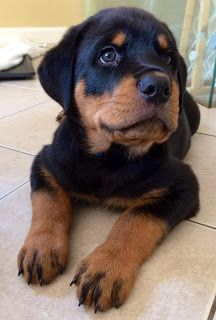 Male And Female Rottweiler Puppies Rottweiler Puppies German