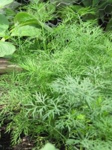 Dill Weed grow inside my garden Pinterest Dill weed Herb