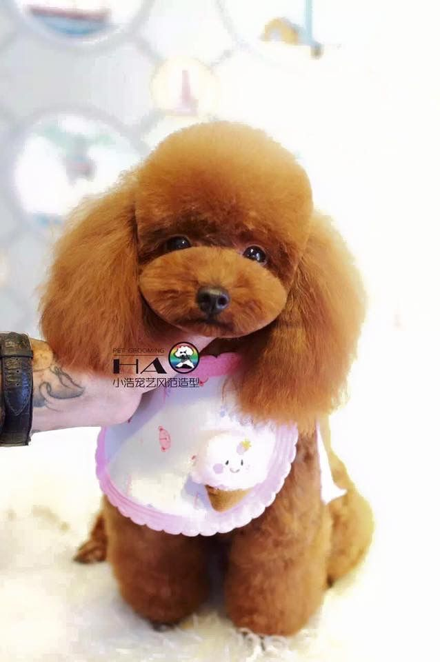 Pin By Paty Valsan On Caniche Pinterest Dog