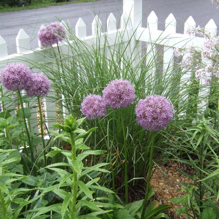 Flower Beds With Ornamental Gres Globemaster Giant Allium And Morning Light Miscanthus