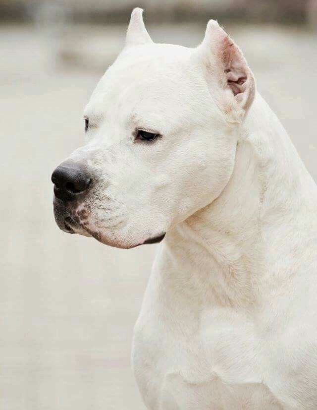 Pin By Mollar On Doggy Dog Argentino Dog Breeds Dogs
