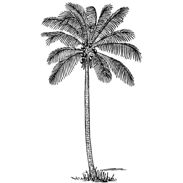 Coloring Page Coconut Tree Liked On Polyvore Featuring Home