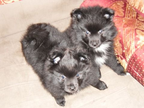 Marketplace In Woodbridge Pomeranian Puppy For Sale Puppies For Sale Pomeranian Puppy
