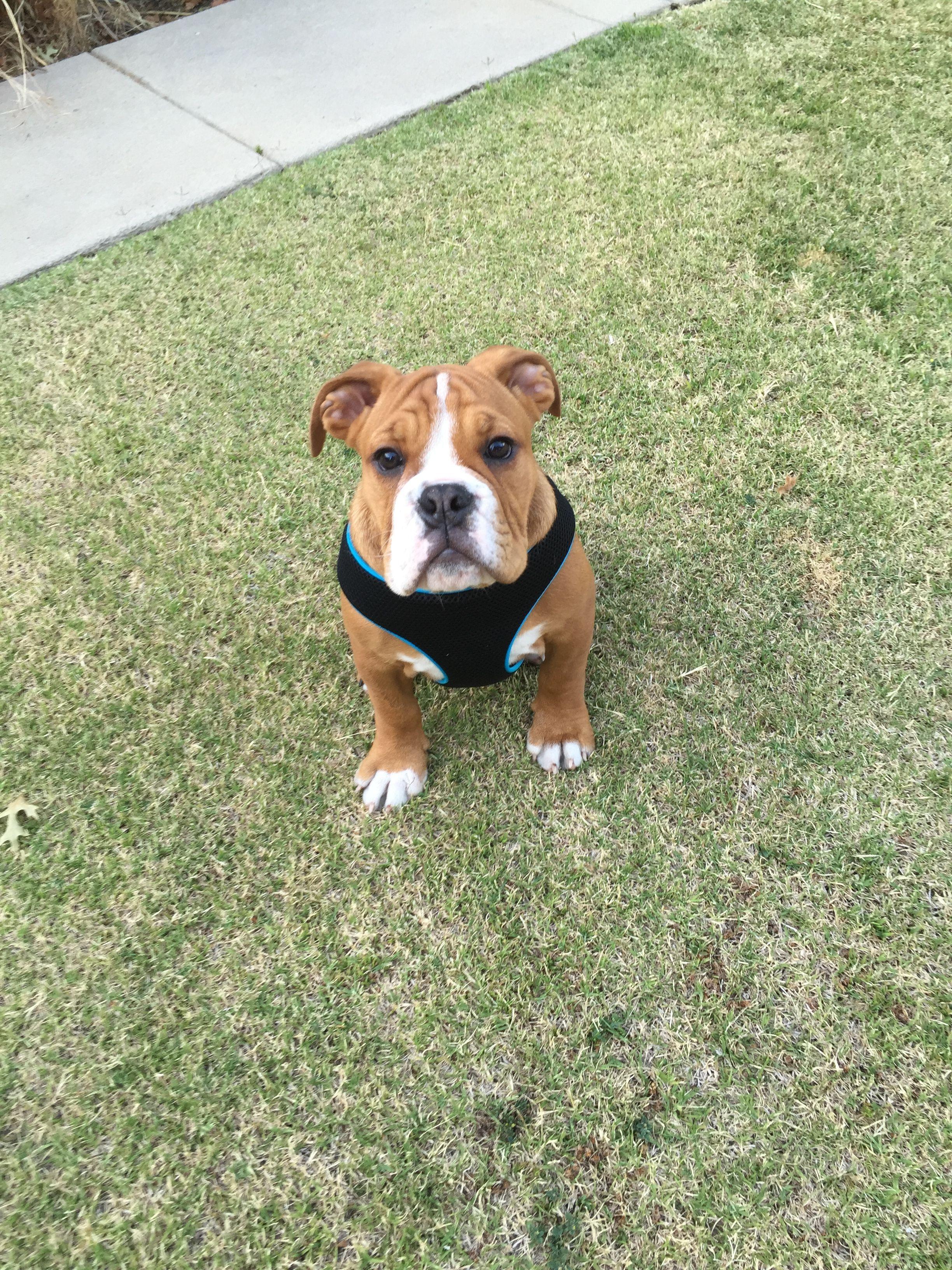 Victorian Bulldog victorianbulldog Bully breeds dogs