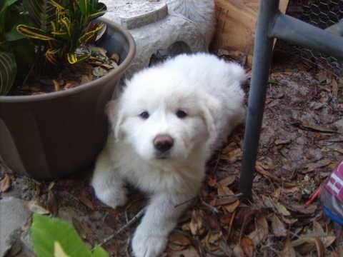Australian Shepherd Great Pyrenees Mix Puppy For Sale In Yulee Fl