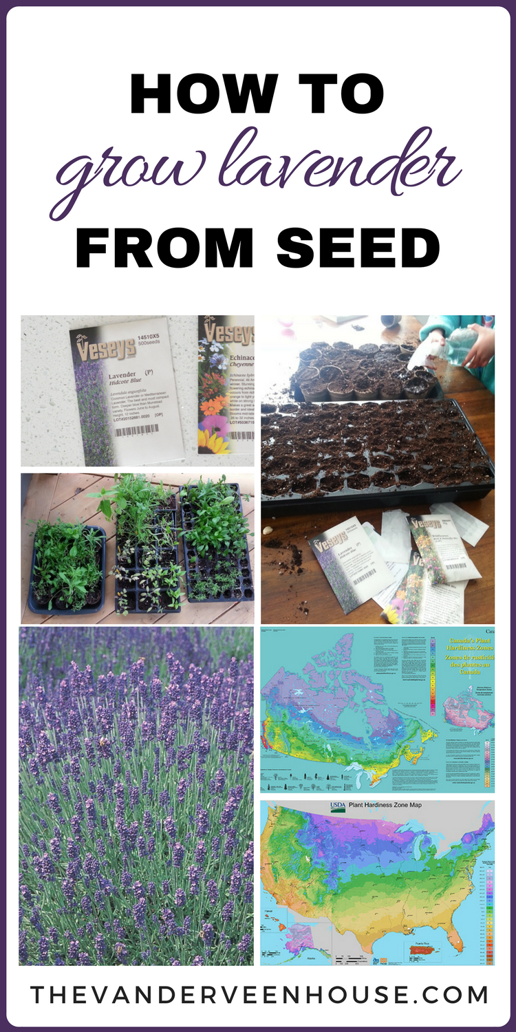 Tips To Successfully Grow Lavender From Seed Growing Lavender