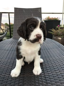 Litter Of 4 English Springer Spaniel Puppies For Sale In Cedar
