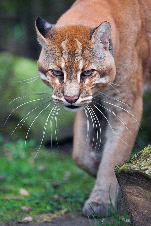Whiskers Asian Golden Cat, mediumsized wild cat of