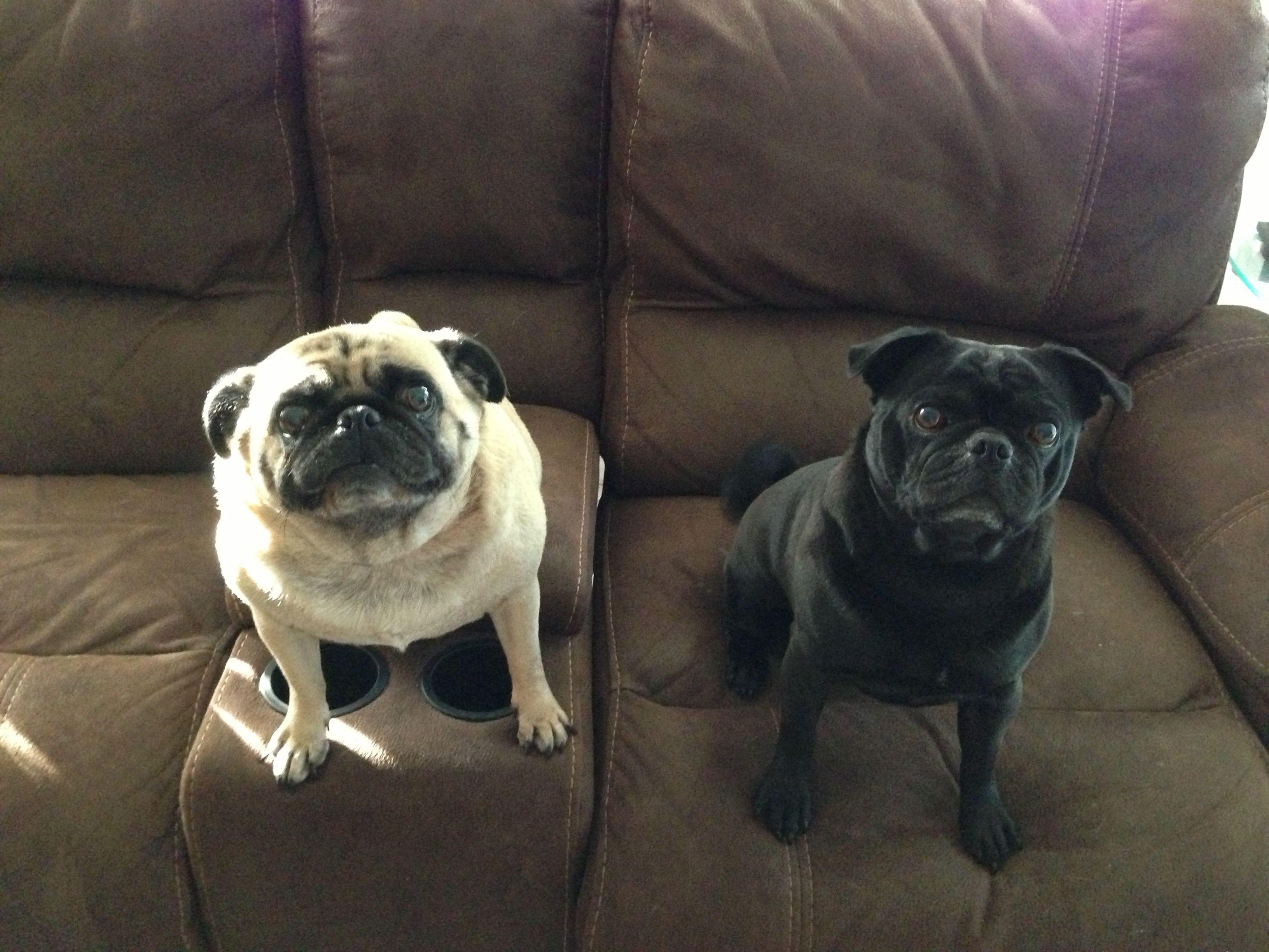 My Babies French Bulldog Pugs Dogs