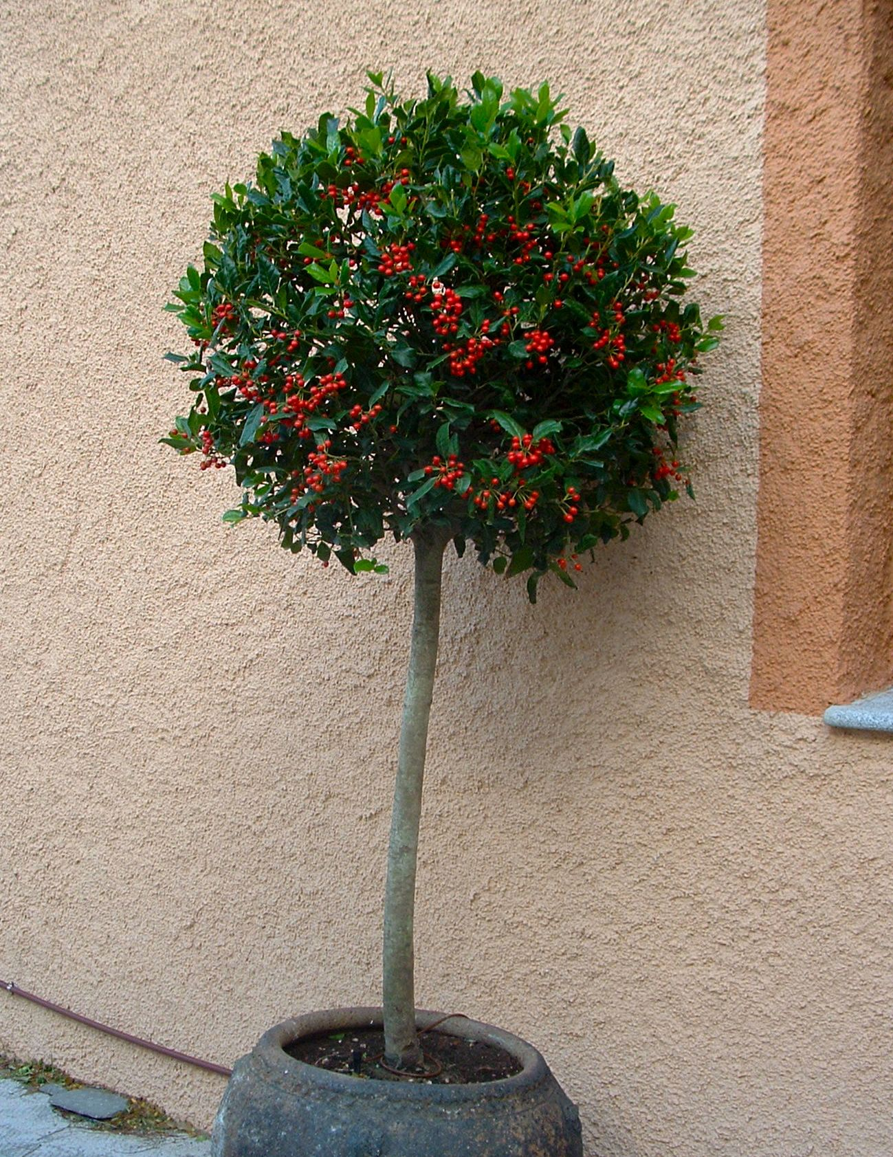 Ilex aquifolium mu rdago en arbolito topiario bio - Plantas perennes exterior ...