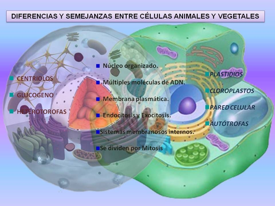 Diferencias y Semejanzas entre célula animal y vegetal | Pinterest ...