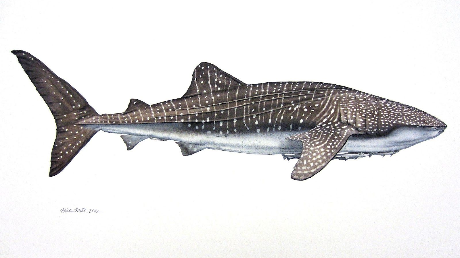 Whale_Shark_and_Remoras-Flick_Ford-Watercolor-trampt-66702o.jpg (1600×899)