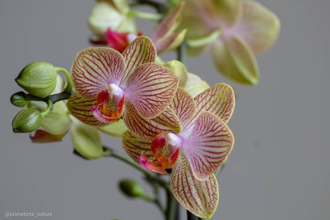 Light Green Lime Flowers With A Red Purple Patern On The Petals Buttetfly Orchid Or Phalaenopsis In 2020 Orchids Phalaenopsis Orchid Photography
