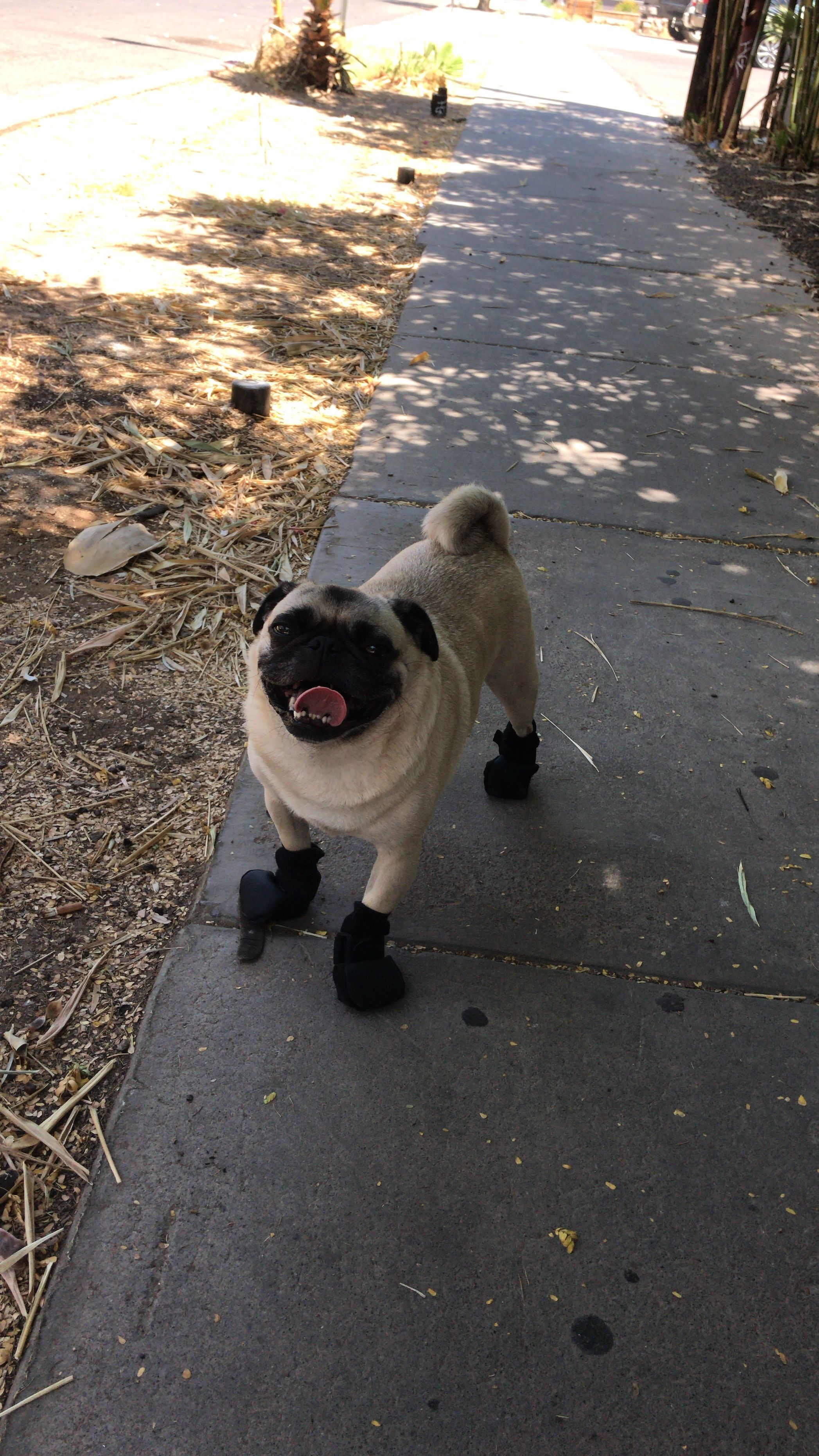 Remember To Wear Your Boots When The Cement Is Hot Puglife
