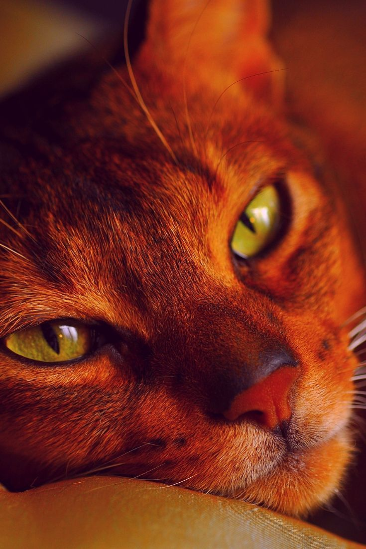 Cats that can swim Abyssinian cat breeds of cats cute cats