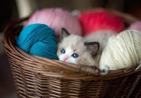 Голубоглазый котенок породы регдолл спрятался в плетеной ...