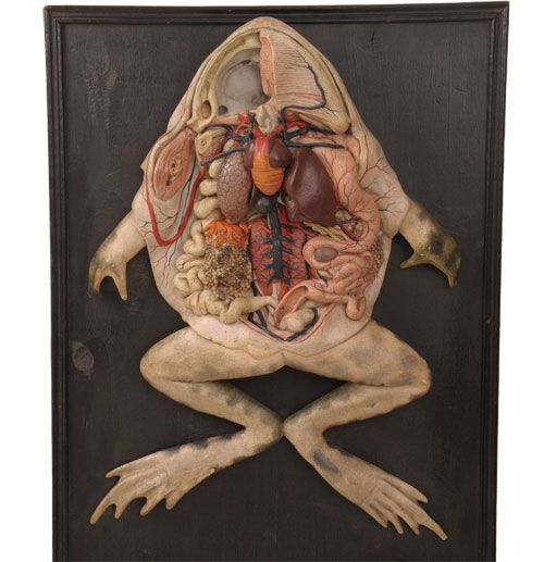 Paper mache and painted plaster anatomical frog model, made by E. Deyrolle (1838-1917)