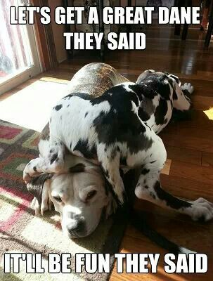 Let S Get A Great Dane They Said It Ll Be Fun They Say Great
