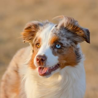 And Red Merle Most Beautiful Dogs Beautiful Dogs Australian Shepherd