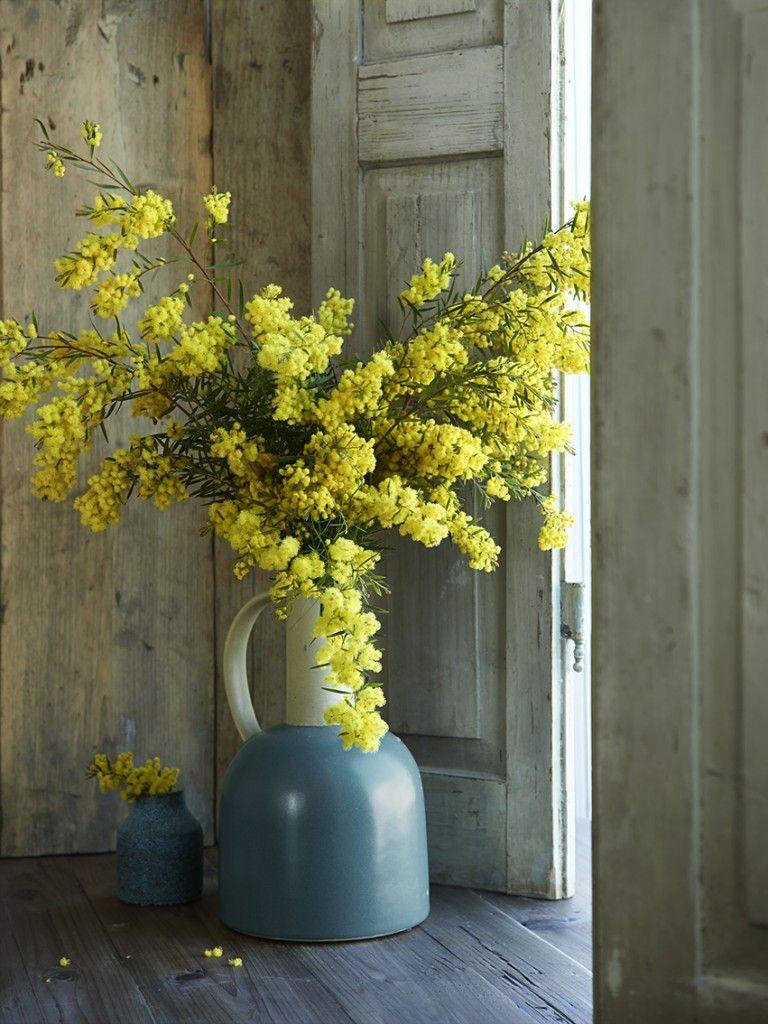 dennis brandsma | mimosa | silber akazie | yellow