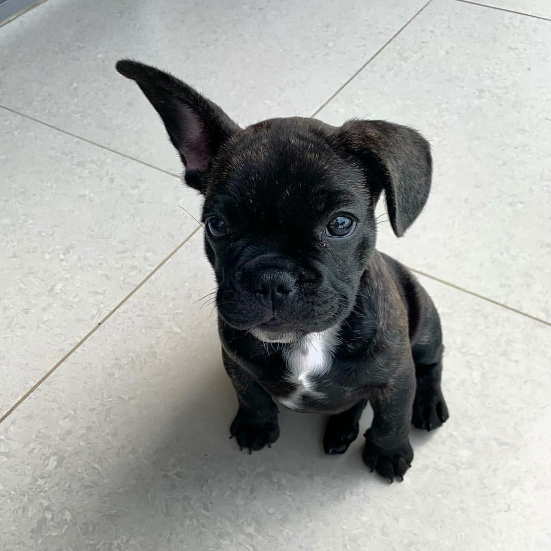 Training Dog Obedience Using Hand Signals French Bulldogs For Salefrench Bulldog For Sale Whi French Bulldog Breed White French Bulldog Puppies French Bulldog