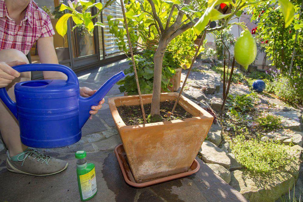 Düngetipps für Zitruspflanzen Gartentipps, Pflanzen und