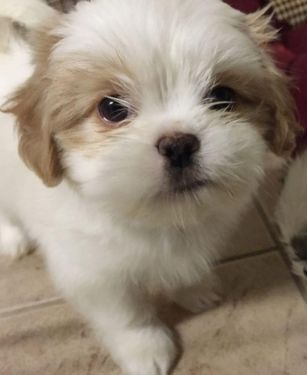 Brown And White Shih Tzu Female Puppy Google Search Puppies Shih Tzu Cute Dogs