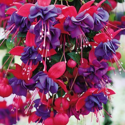 2 X BLACKY Double Flowered Fuchsia